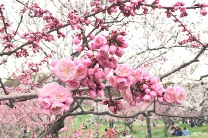 平岡公園の梅が開花